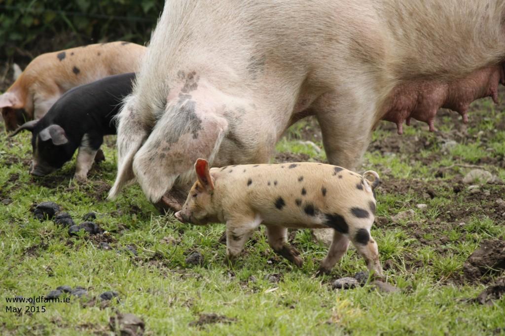 Jemima's Piglets 2015