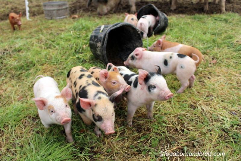Fine healthy piglets :)